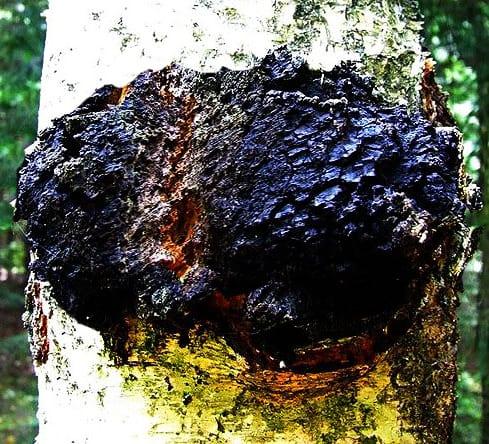 chaga svamp på en björk- sprängticka