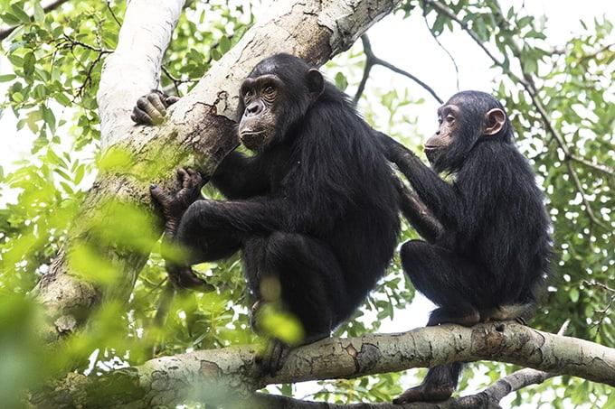 000034616734_schimpanser